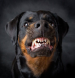 Angry Dog Rottwieler.jpg