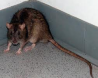 cornered rat.png