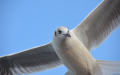 Dove flyiing.jpg
