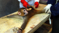 Monkey being tortured.jpg