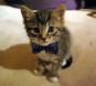 Bow tie kitten