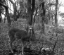 Its attention caught, a deer found eating a human corpse looks up, a rib dangling from its mouth.