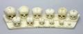 Human skull development