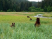Bears in Tongass Alaska