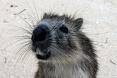 Cuban rodent
