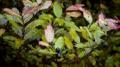 pseudowintera colorata.png
