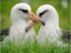 Laysan Albatross 1