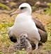 Laysan Albatross 3