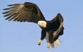 Eagle spots prey