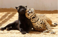 Leopard with Panther offspring