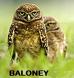 Owl calls BS