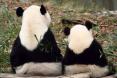 Panda and cub
