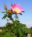 Wild rose Rosa rubiginosa