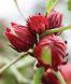 Jamaican Hibiscus sabdariffa, Roselle