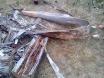 Tasmanian hardwood bark and log rotted inside.